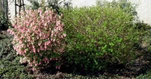 ribes sanguineum & physocarpus capitatus