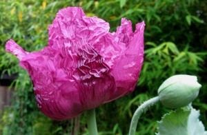 purple breadseed poppy