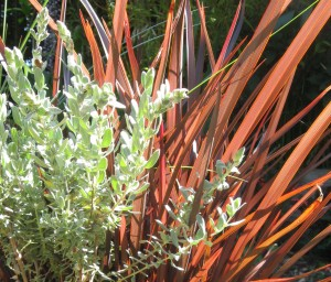 Salvia chamaedrys and Phormium ad nauseum