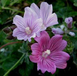 Sidalcea malviflora, checkerbloom