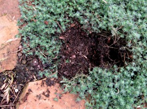 skunk-dug hole in the woolly thyme