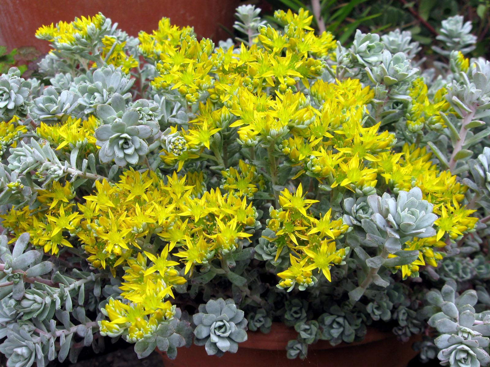 Drystonegarden 187 Blog Archive 187 Sedum Spathulifolium