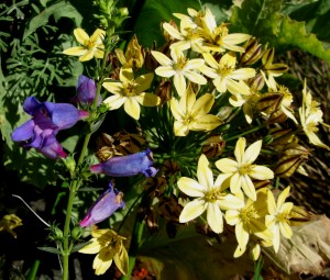 Penstemon heterophyllus and Triteleia Starlight