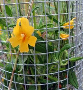 mimulus aurantiacus, monkey flower