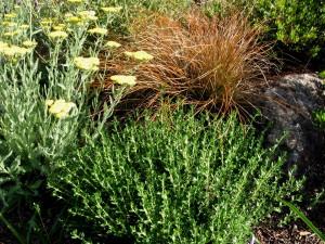 Carex testacea, Teucrium chamaedrys, Achillea Moonshine