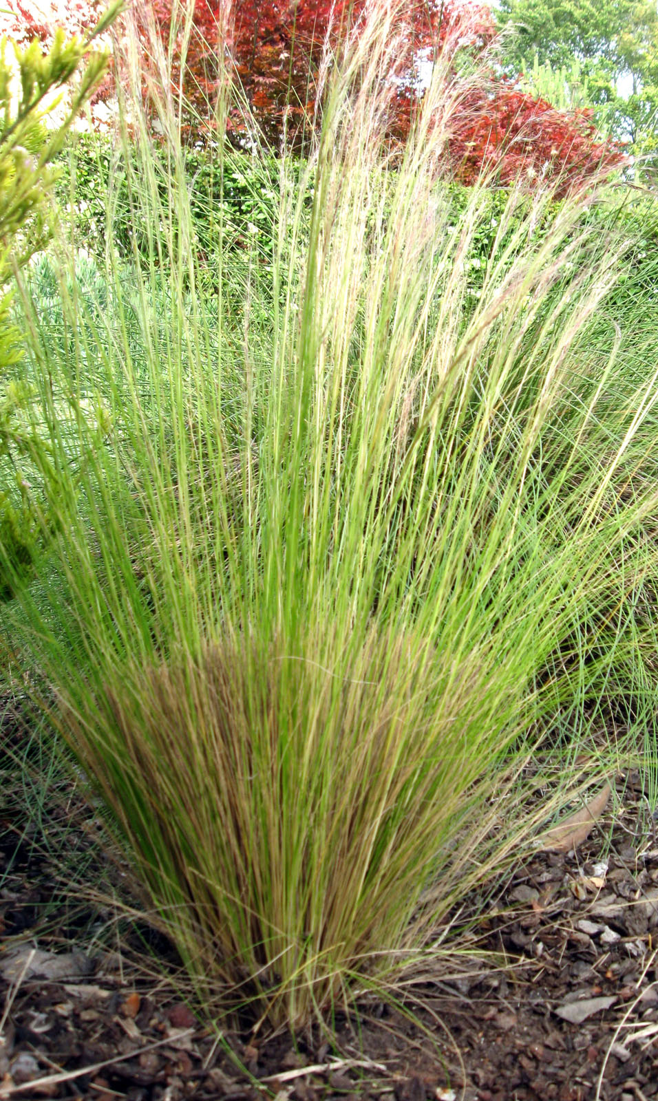 Drystonegarden blog archive maintaining ornamental grasses for Giant ornamental grass