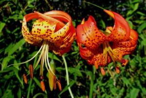 Panther Lily and Corralitos Hybrid Lily