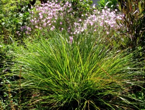 Stipa arundinacea, New Zealand Wind Grass