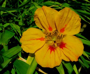 volunteer nasturtium