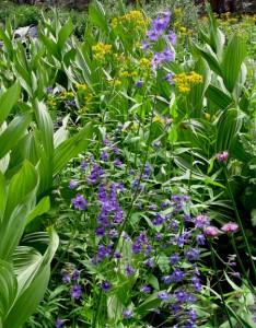 Larkspur, Allium, Senecio, and Corn Lily