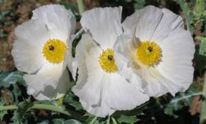 Prickly Poppy, Argemone