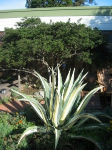 Agave and Ceanothus