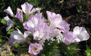 Mountain Phlox, Linanthus grandiflora