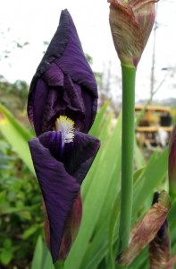 Bearded Iris