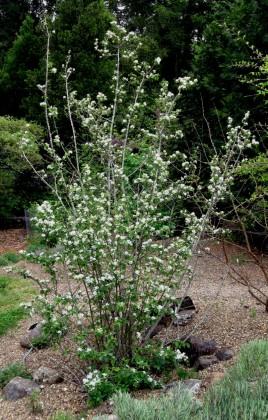 Utah Serviceberry, Amelanchier utahensis