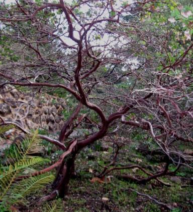 Arctostaphylos pajaroensis Paradise Trunk