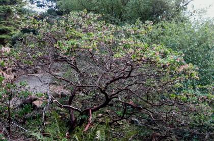 Arctostaphylos pajaroensis Paradise