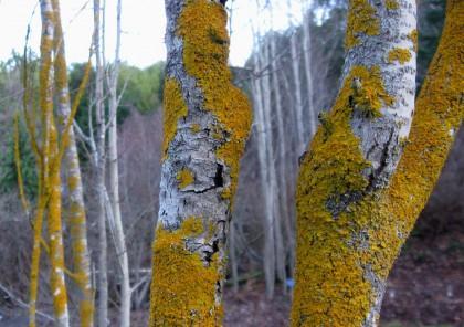 Lichen on the Aspens