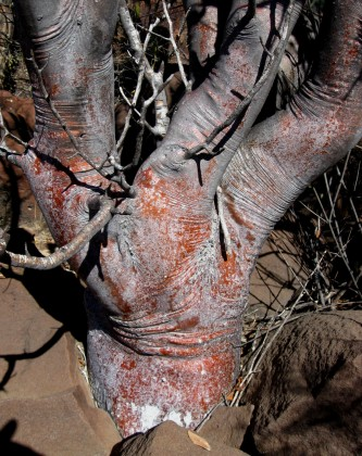 Bursera hindsiana, Red Elephant Tree Trunk