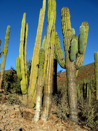 Organ Pipe and Cardon