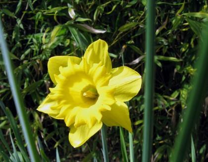 Trumpet Daffodil?