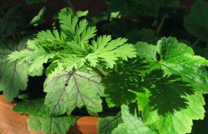 Dicentra formosa and Tellima grandiflora
