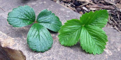 Fragaria chiloensis, on the left, Fragaria vesca, on the right