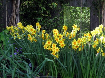 Tazetta Narcissus, Falconet and Golden Dawn