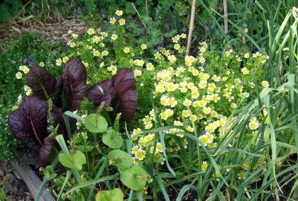 Meadowfoam, Mustard, Miners Lettuce, Garlic