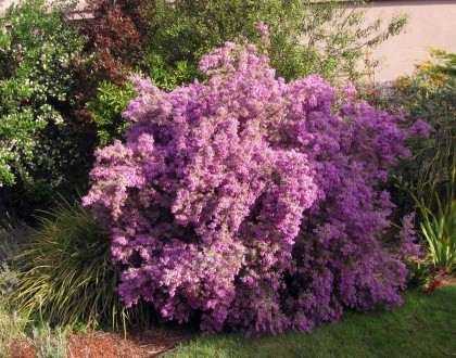 Prostanthera
