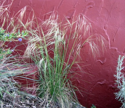 Purple Needle Grass, Nassella pulchra