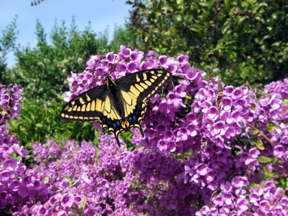 Swallowtail on Prostanthera