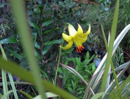 Lemon Lily, Lilium parryi