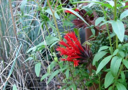 Monardella macrantha Marian Sampson
