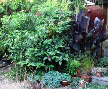 Western Spicebush, Calycanthus occidentalis