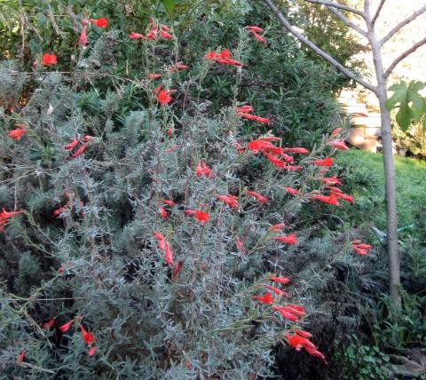 Caliornia fuchsia