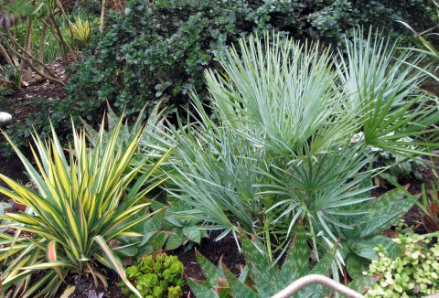 Blue Mediterranean Fan Palm, Chamaerops humilis cerifera