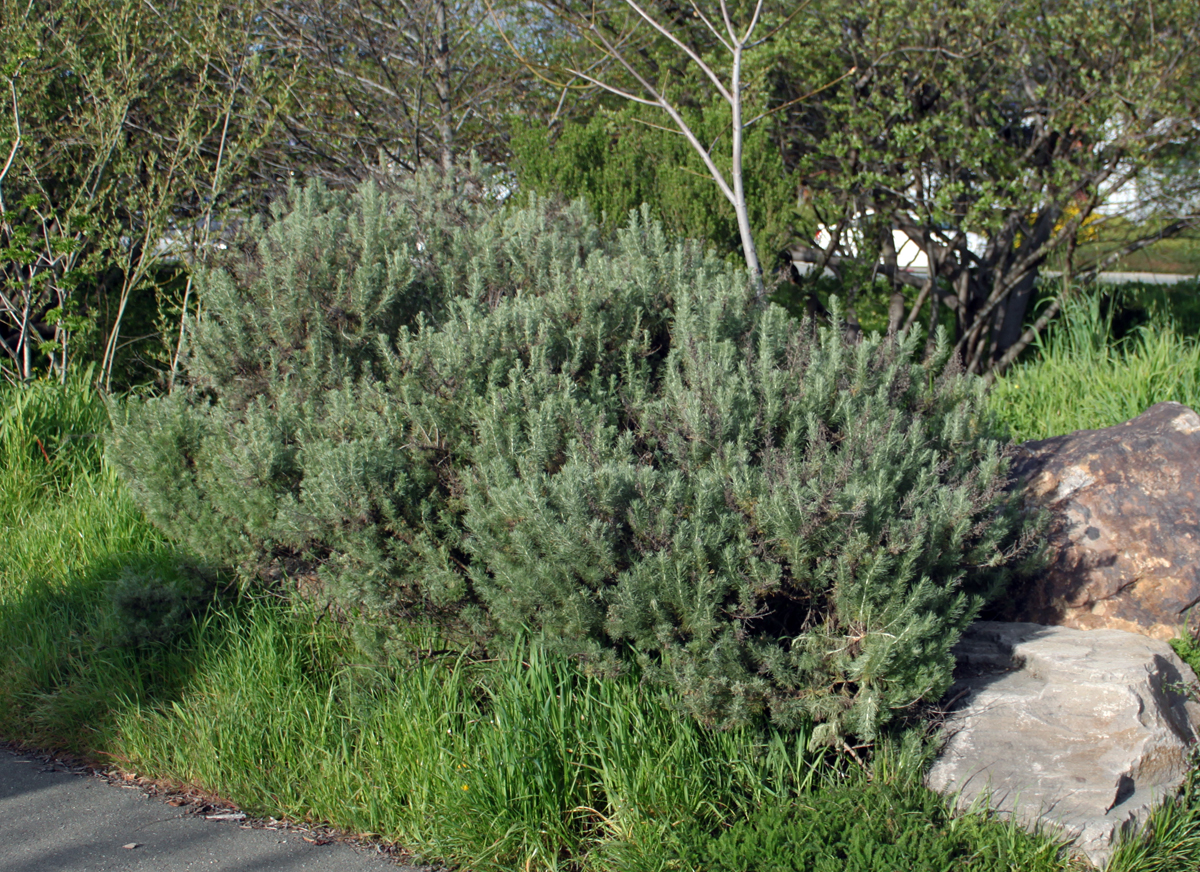 Artemisia Californica DryStoneGarden » ...