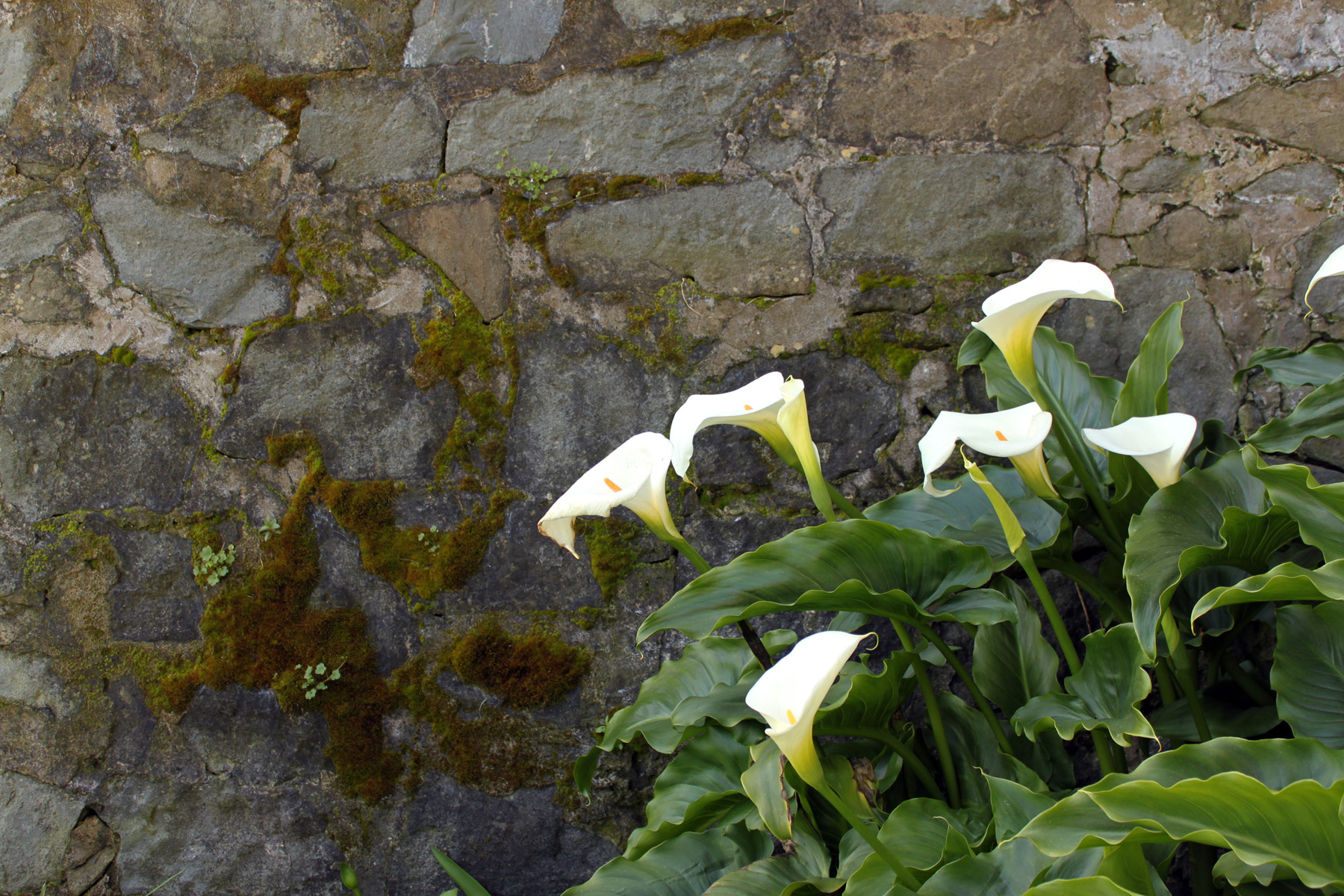 Alcatraz Calla Lilly Flower Island Picture to Pin on Pinterest The