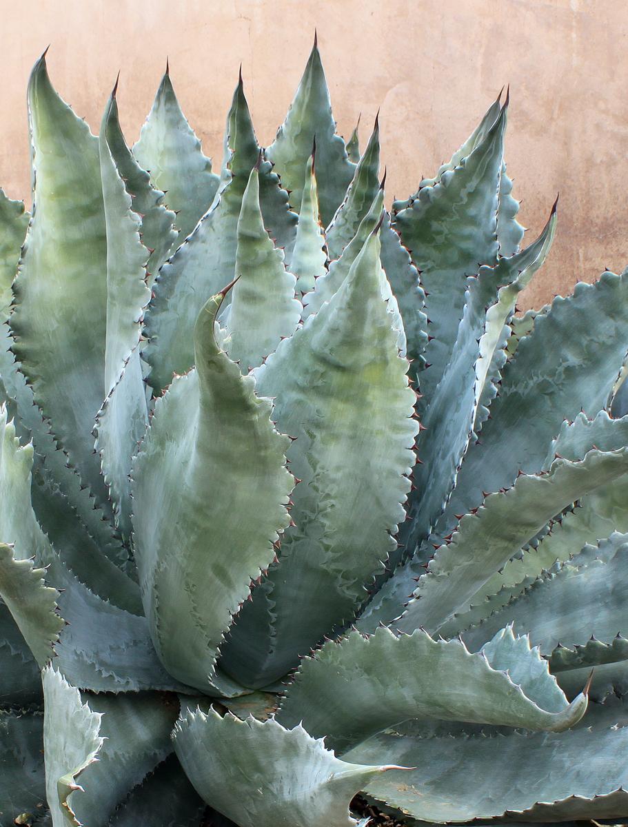 Desert Plants List