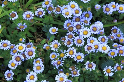 Erigeronglaucusblooms